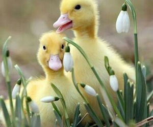 duck, animal, and duckling image