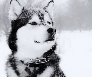 dog, husky, and snow image