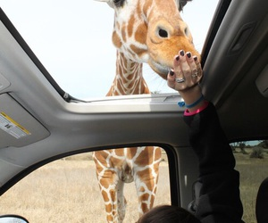 giraffe, animal, and car image