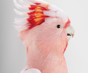 bird, pink, and parrot image