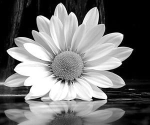 black and white, flower, and reflection image