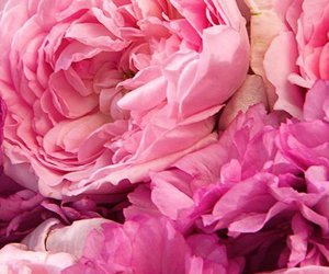 flowers, peony, and pink image