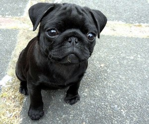 cute, black, and dog image