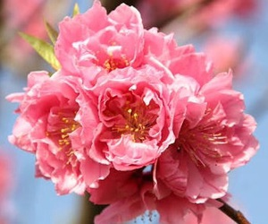 flower, nature, and peach-blossoms image