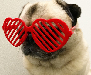 animals, pug, and cute image