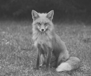 fox, black and white, and photography image