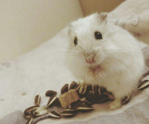 animal, animals, and hamster image