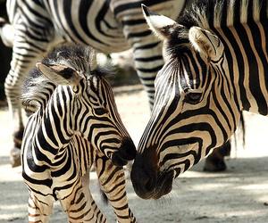 zebra, animal, and baby image
