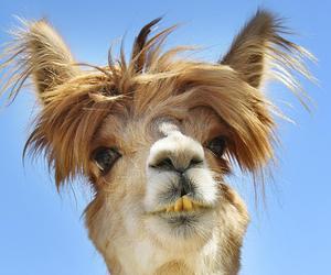 baby animals, cute animals, and llama image