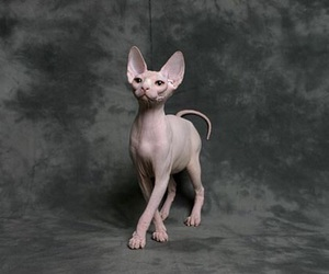 sphynx and cat image
