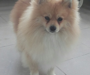 furry, pomeranian, and puppy image