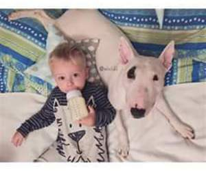 baby and bull terrier image