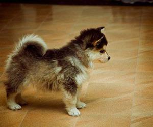 adorable, little, and husky image