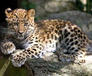 amur leopard image