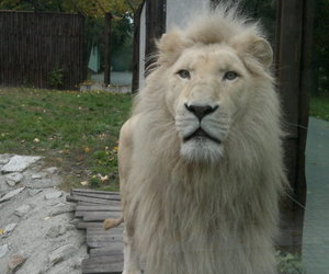 animal, lion, and albine image