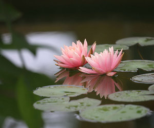 flower, pink, and water lily image