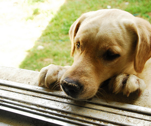 afternoon, begging, and labrador image