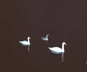 Swan, grunge, and black image