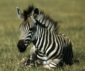 baby, zebra, and foal image