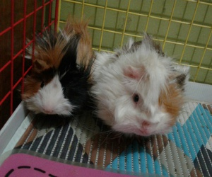 brothers, chile, and guinea pigs image