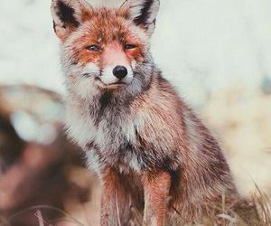animal, fox, and nature image