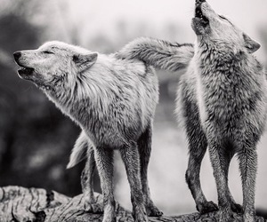 wolf, black and white, and wild image