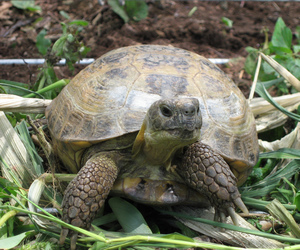 madison, russian tortoise, and cute image