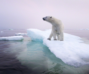 animal, pink, and polarbear image