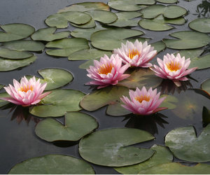 flowers and water lily image