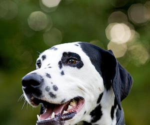 animal, black and white, and dalmatian image