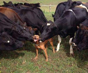 dog, animal, and cows image