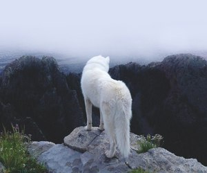 wolf, white, and animal image