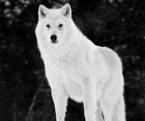 wolf, white, and snow image