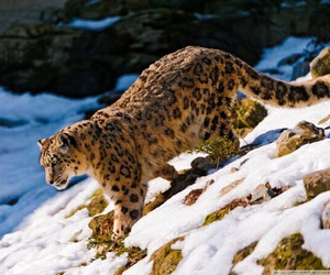 leopard, animals, and snow image