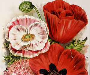botany, vegetables, and shirley poppy image