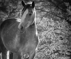 black and white, horse, and varnuak image