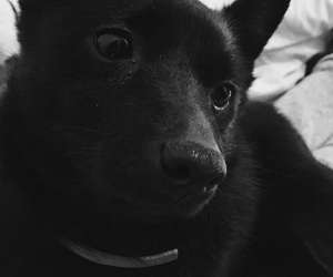 dog, lové, and schipperke image