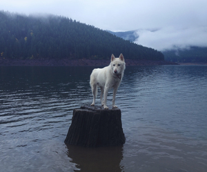 dog, wolf, and nature image