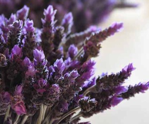 beauty, flower, and lavender image