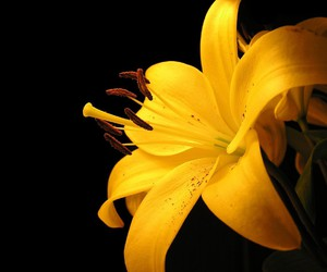 flowers, yellow, and lily image