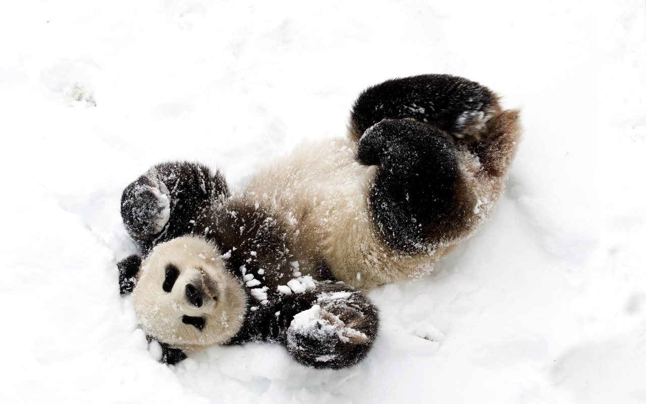 black, panda, and snow image