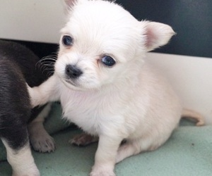 chihuahua, cuteness, and cute image