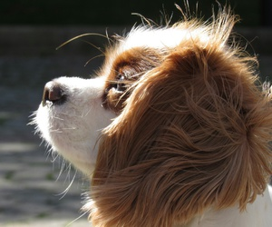 charles, cocker, and dog image