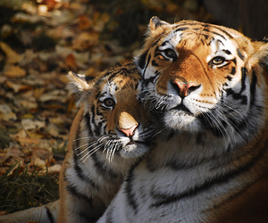 animals, tigers, and djur image