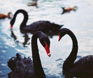 Swan, black, and black swan image
