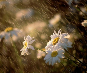 flowers, rain, and daisy image