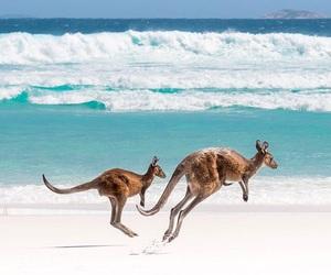 beach, kangaroo, and summer image