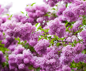 flowers, nature, and lilac image