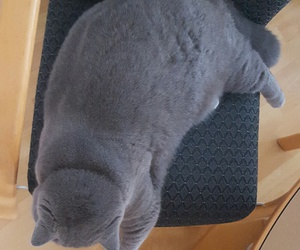 cat, fat, and british shorthair image