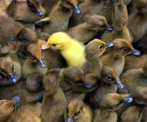 duck, animal, and Chick image